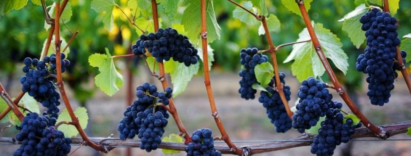 A uva Pinot Noir Os vinhos mais elegantes do mundo