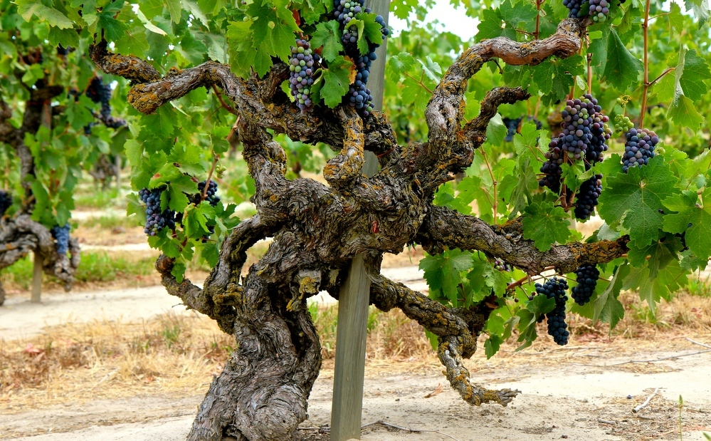 Vinha velhas produzem melhores vinhos?
