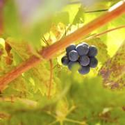 50 Melhores Pinot Noir chilenos na historia para Robert Parker 2