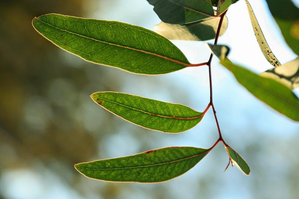 Como e por que se produzem os aromas de eucaliptos nos vinhos?