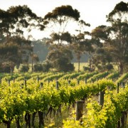 Entenda o motivo dos aromas de eucaliptos nos vinhos