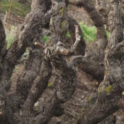 Bodegas Torres resgata duas uvas ancestrais