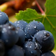 Nascimento e crescimento da uva