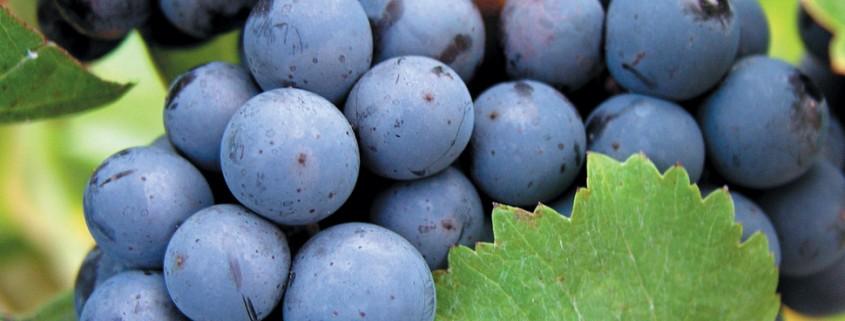 Veja o ranking atualizado das uvas mais prantadas no mundo