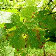 O Míldio: o mais temível dos parasitas da uva